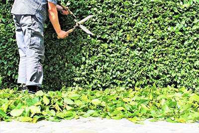 trimming hedges. How to Prune (Trim) Hedges for optimum health.