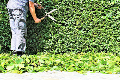 fast growing evergreen shrubs for privacy