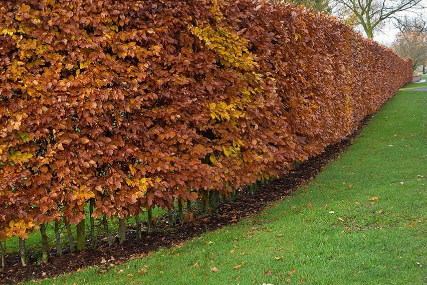 20 Green Beech 5ft  Instant Hedging Trees,Strong 4 Year Old Feathered Plants