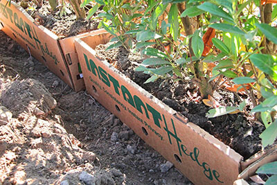 fast growing evergreen trees for privacy