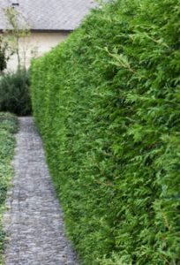 Best Bushes for privacy: Buy Privacy shrubs available for sale
