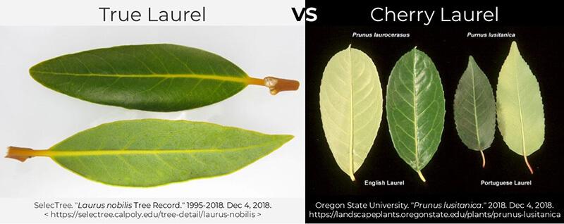 laurel shrub