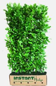 laurel hedge plants