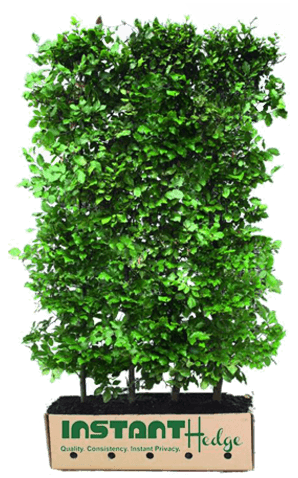 InstantHedge beech fagus hedge biodegradable cardboard box