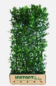 Laurel hedges