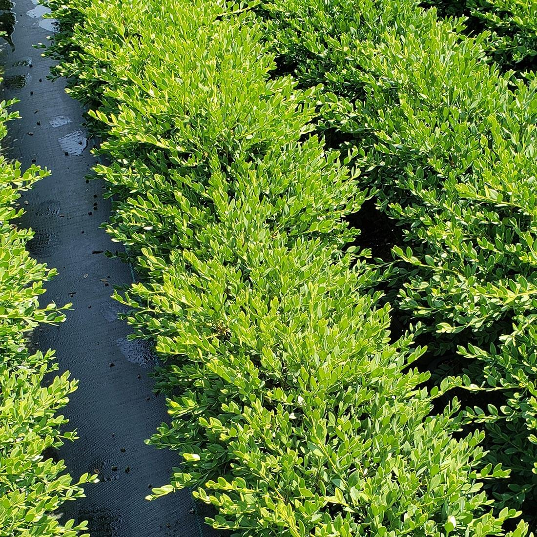 Buxus Green Mountain Boxwood hedge cold hardy evergreen deer